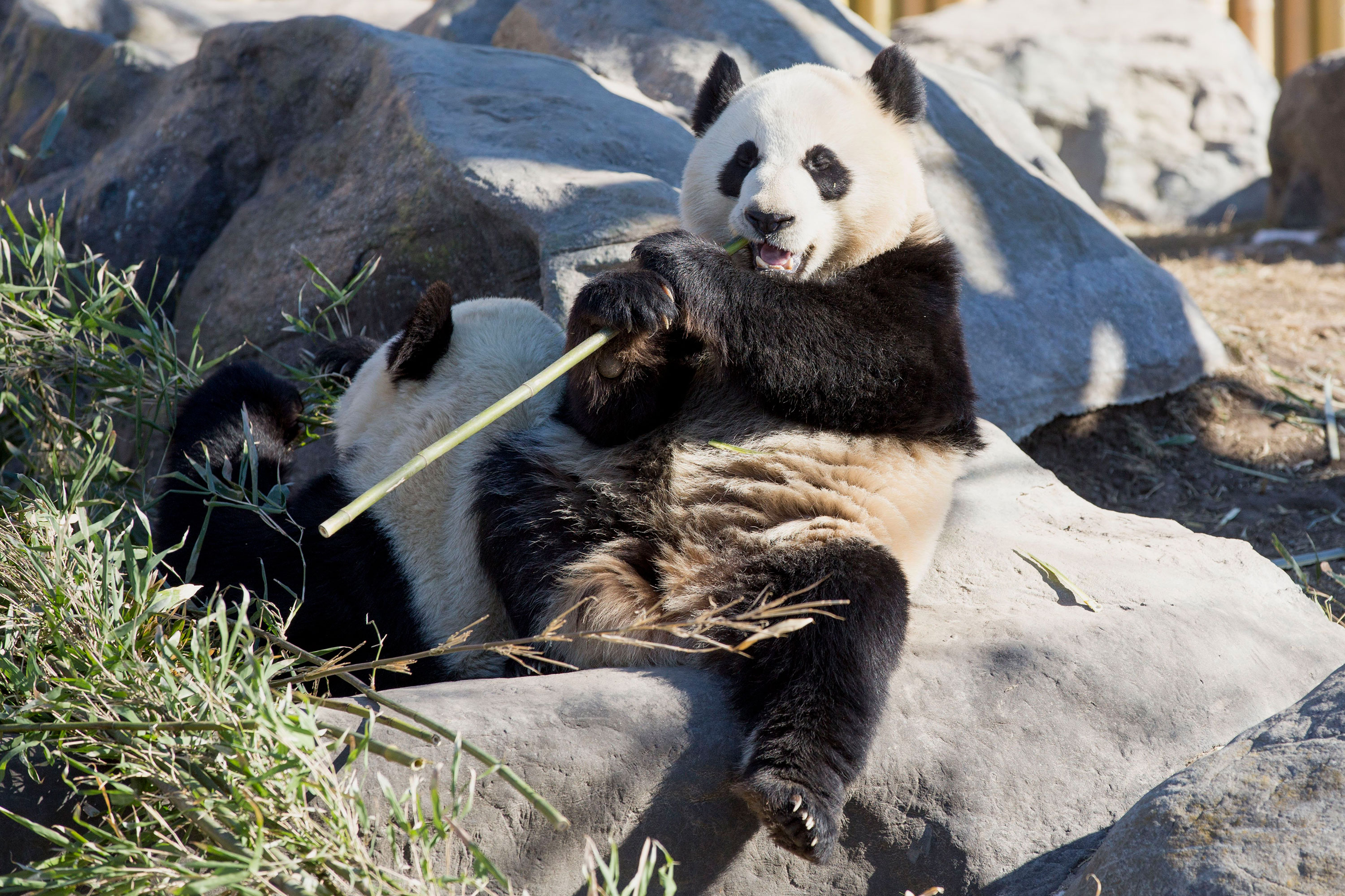 Da Mao and Er Shun at the Toronto Zoo before they were transferred to the Calgary Zoo in 2018.