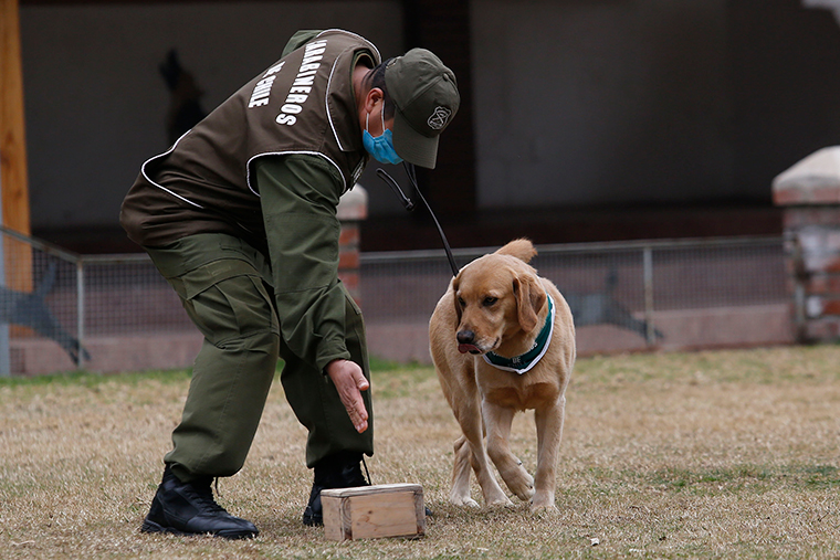 Sergeant Fuentealba trains Clifford at Carabineros de Chile Dog Training School in the Parque Metropolitano on July 17, in Santiago, Chile. The Carabineros Dog Training School is training four dogs only to detect COVID-19 by placing a patch on a person's armpit with possible symptoms for two hours and then taking it to the dog to detect the virus.