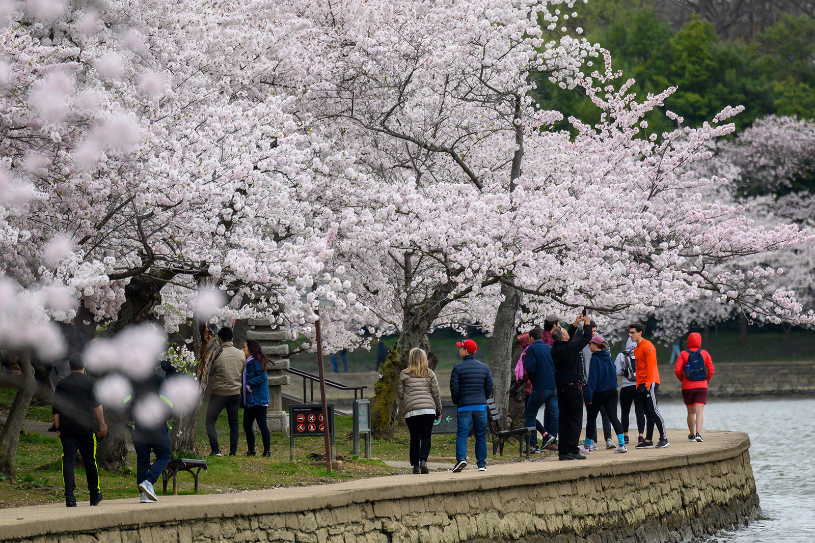 Pedestrians walk around the Tidal Basin in Washington, DC, to view the city's famous cherry blossoms in full bloom on March 21.