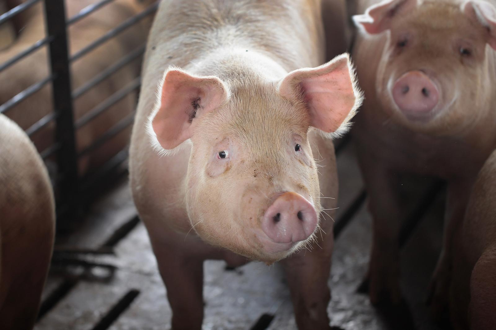 Hogs are raised on a farm near Osage, Iowa on July 25, 2018.