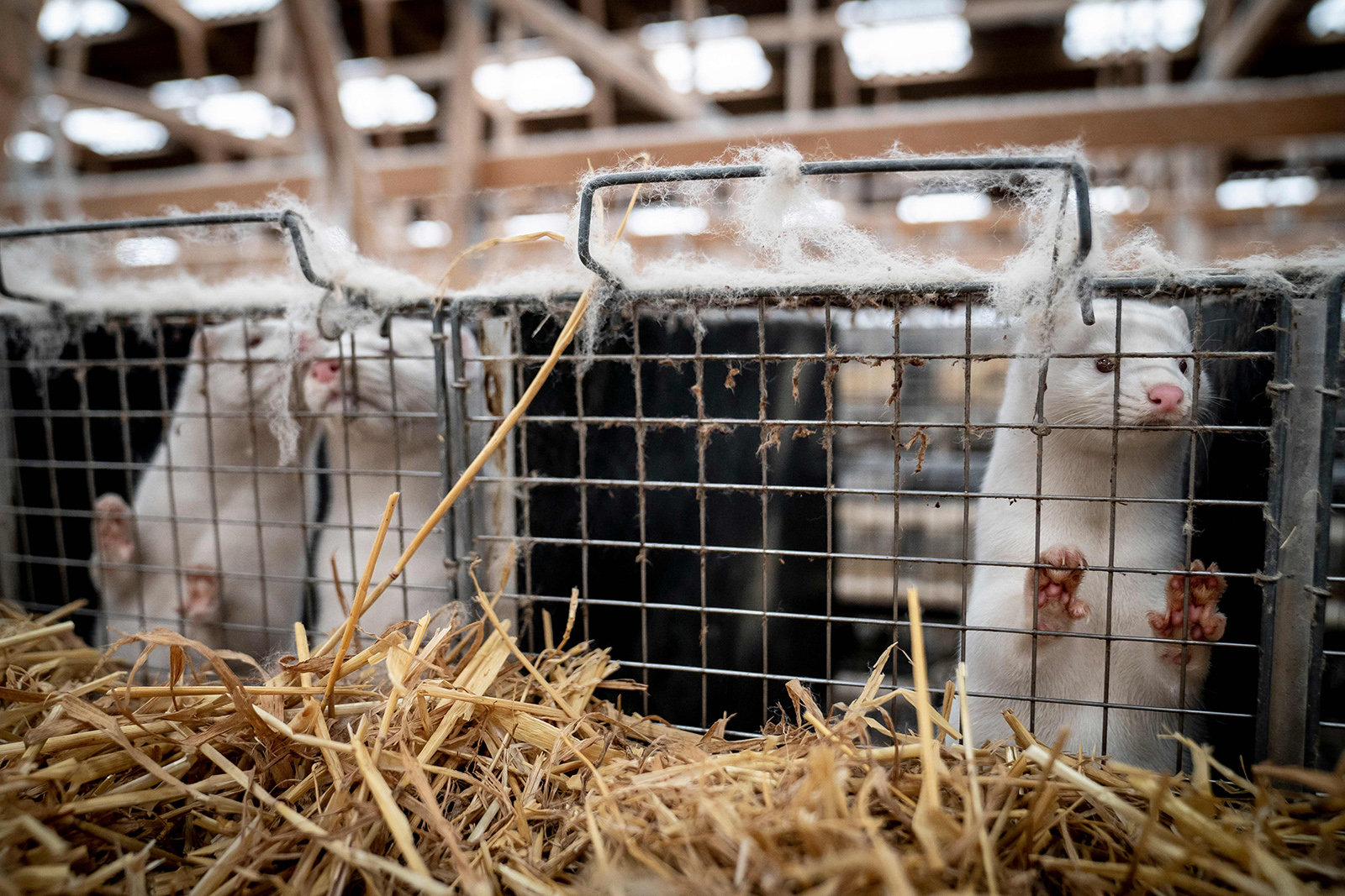 Mink look out from their cage during a coronavirus outbreak at a farm near Naestved, Denmark, on November 6.