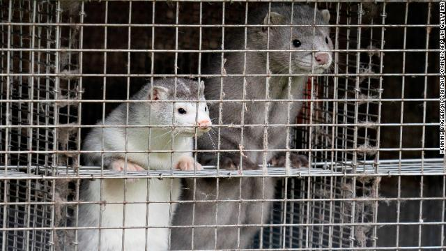 Minks at a farm in Gjol, northern Denmark on October 9, 2020. Around 17 million mink are to be put down at various farms in Denmark due to contamination with the Covid-19 coronavirus.