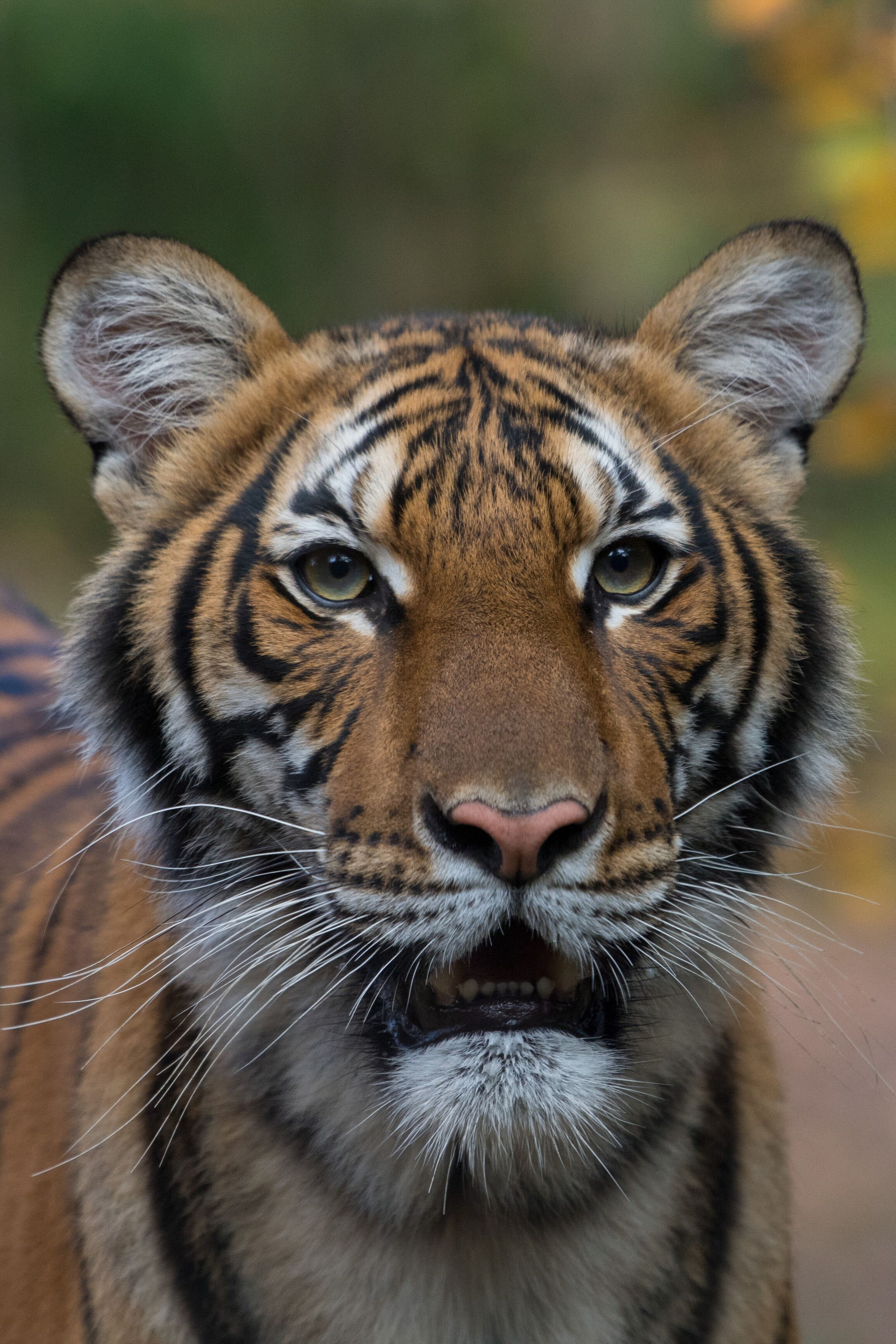 Nadia, a 4-year-old female Malayan tiger at the Bronx Zoo, has tested positive for coronavirus.