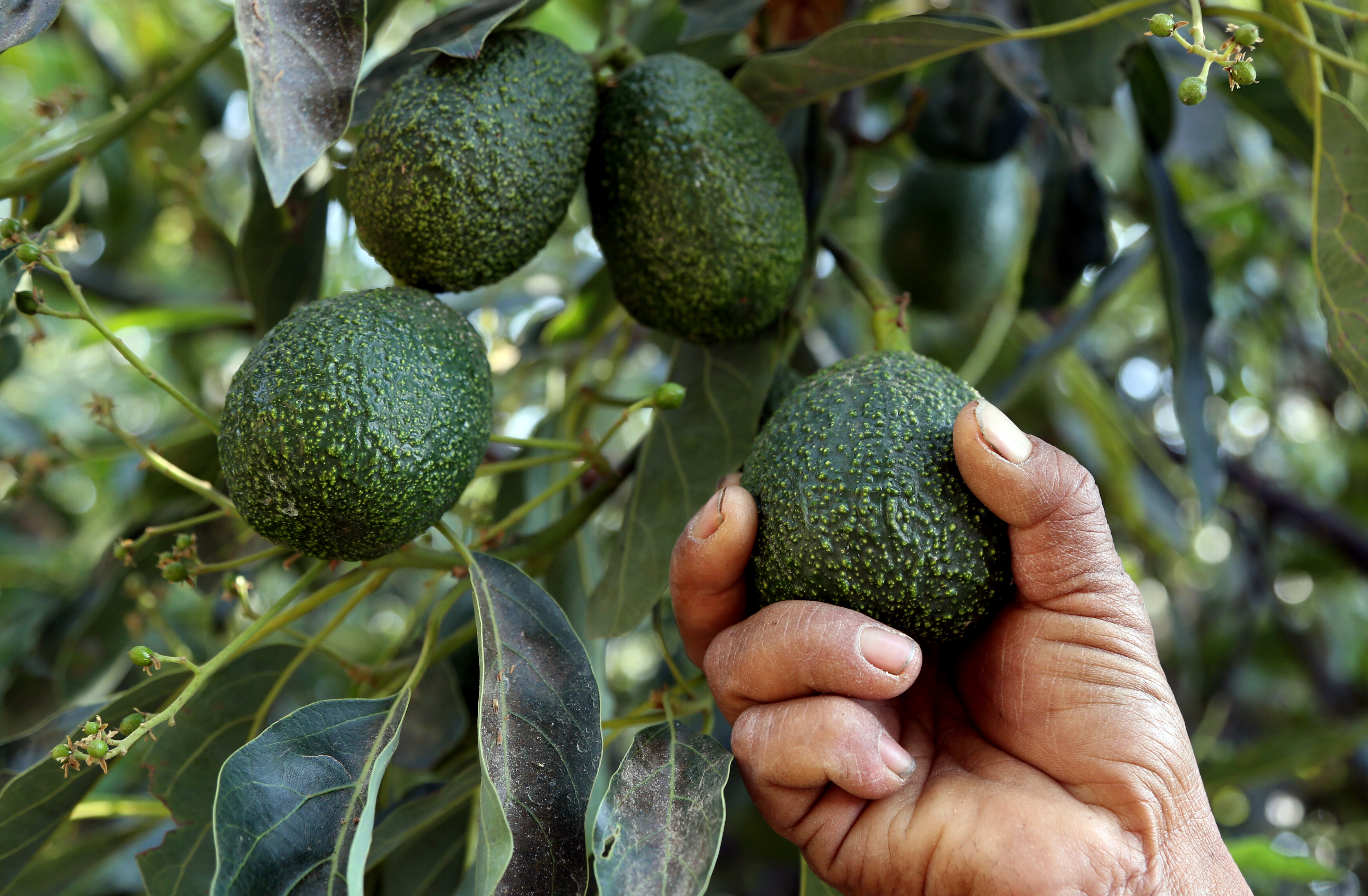 A farmer works at an avocado plantation in El Carmen ranch in the community of Tochimilco, Puebla State, Mexico, on April 5