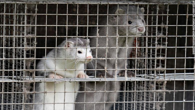 Minks are seen at a farm in Gjol, northern Denmark on October 9.