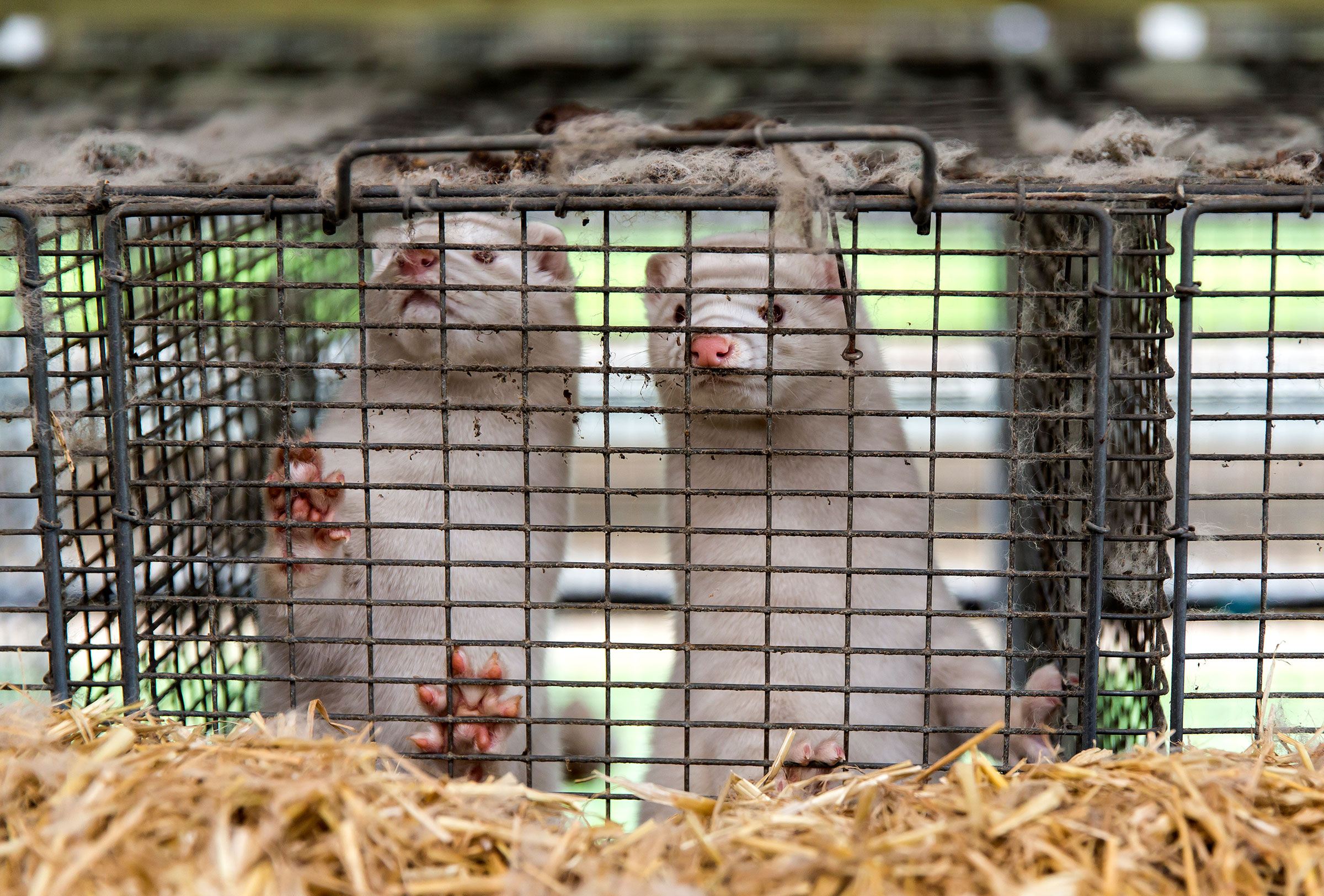 Minks sit in a cage at a farm where a government order required all minks to be culled on November 7 in Bording, Denmark.