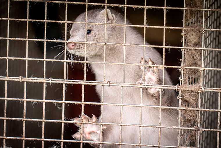 A mink is photographed in a farm in Hjoerring, in North Jutland, Denmark, on October 8, 2020.