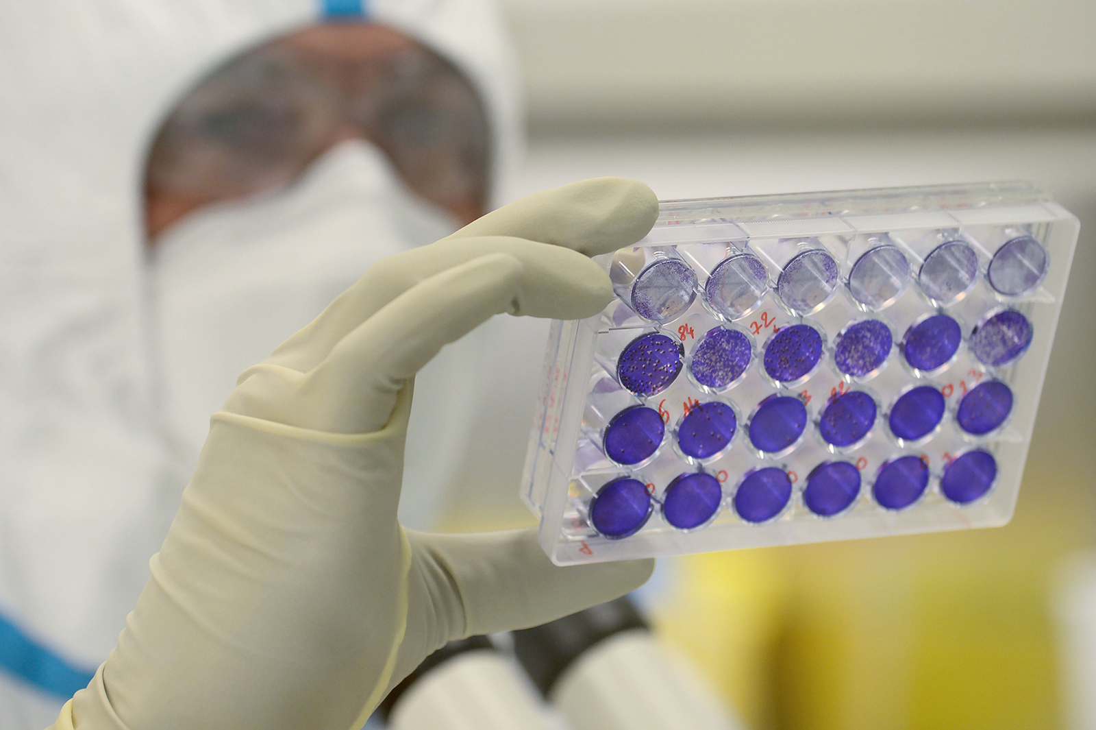 French engineer-virologist Thomas Mollet looks at 24 well plates adherent cells monolayer infected with the Sars-CoV-2 virus at the Valneva SE Group headquarters in Saint-Herblain, France, on July 30.