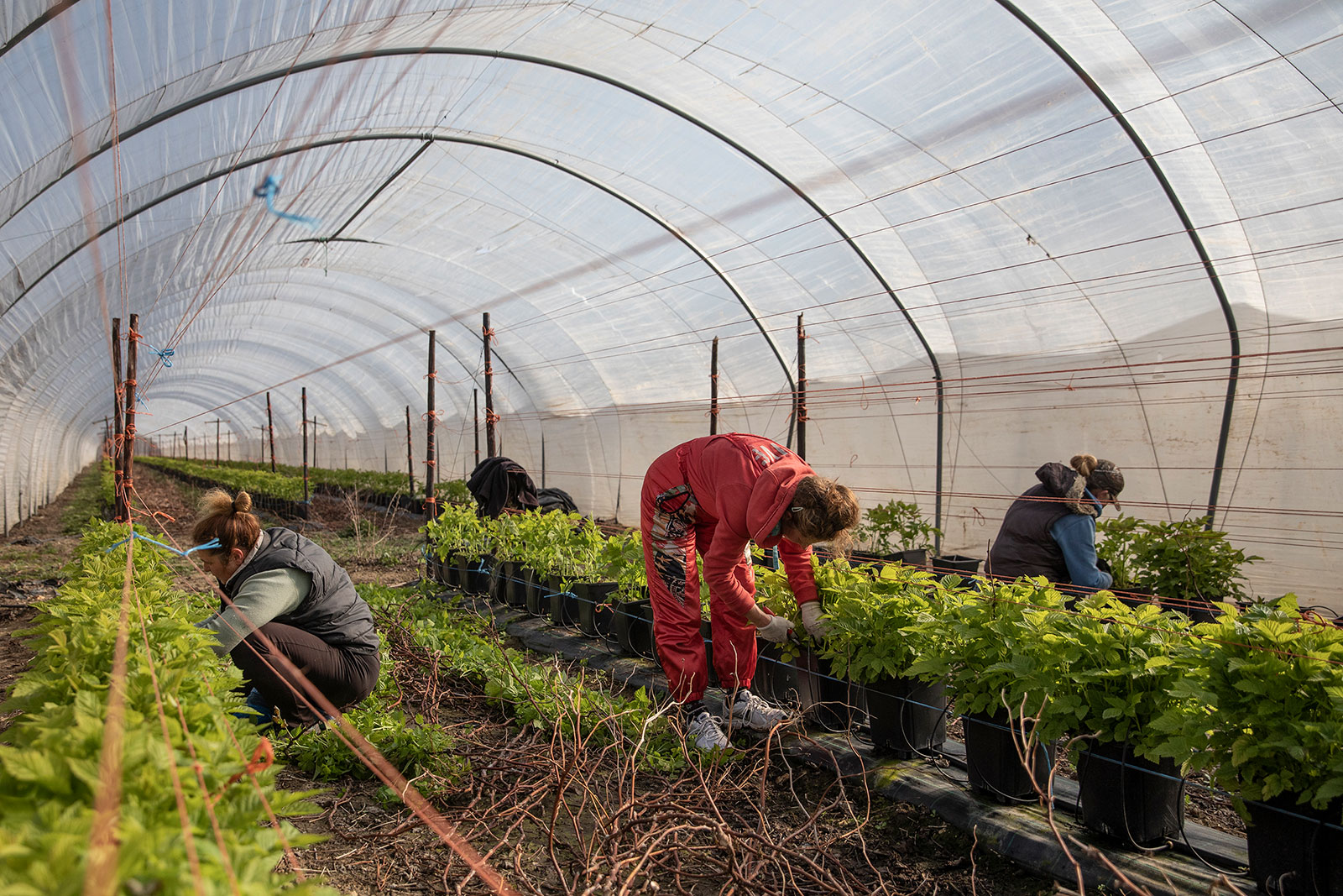 Seasonal workers tend to raspberries at a farm in Rochester, England.