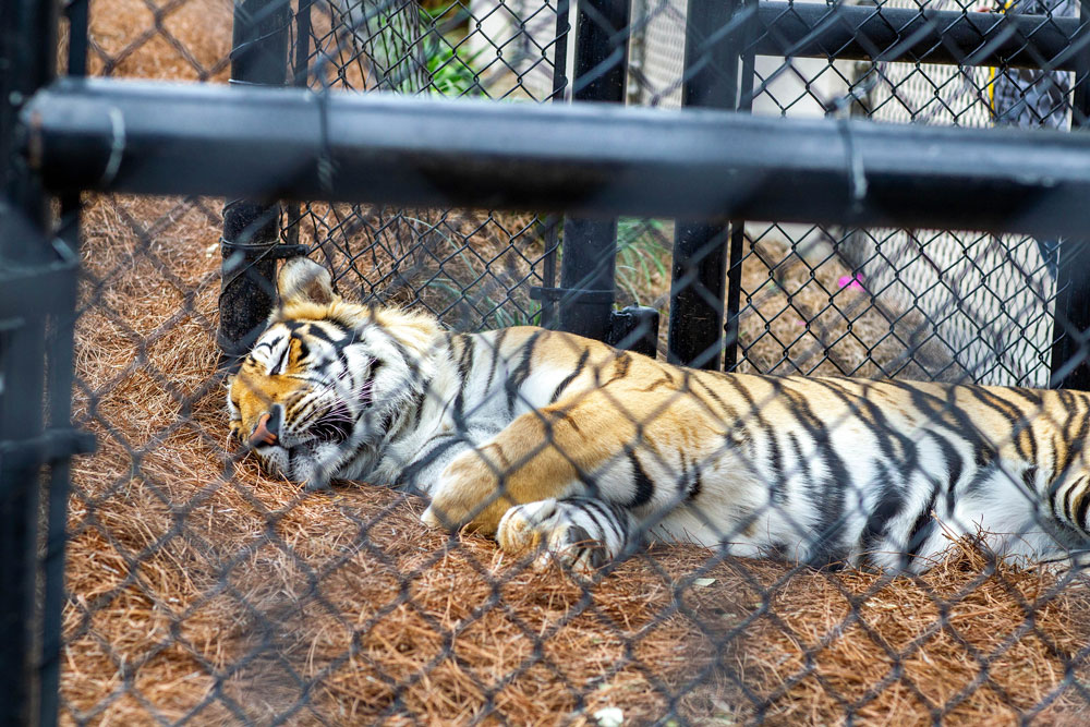 LSU mascot Mike the Tiger rests in his habitat during a game between the Georgia Bulldogs and the LSU Tigers at the Pete Maravich Assembly Center in Baton Rouge, Louisiana on March 7.