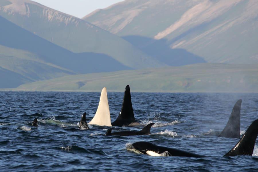 Albino killer whale