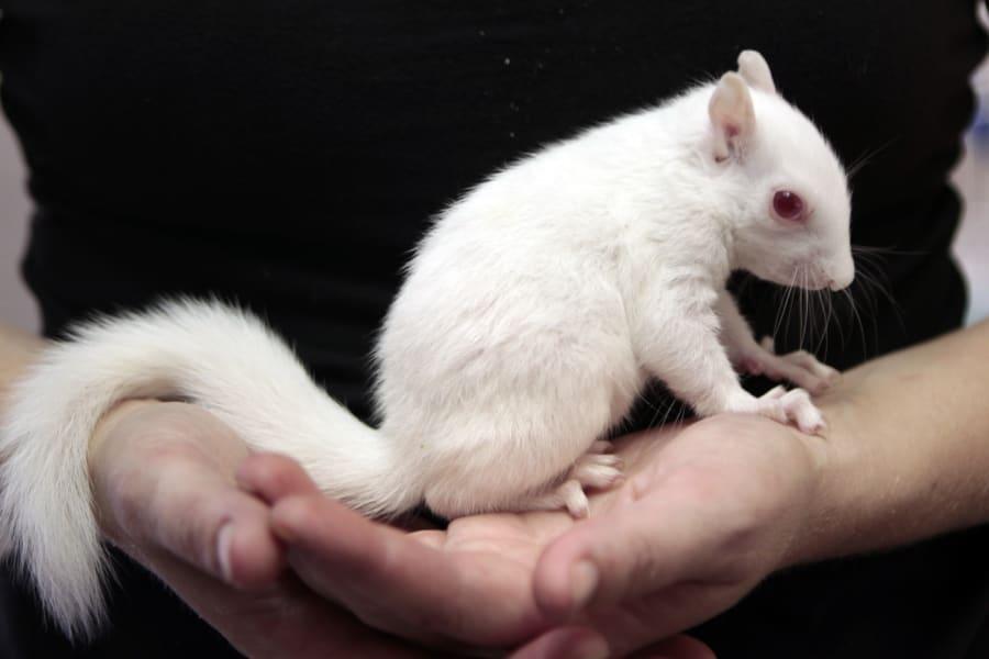 albino squirrell