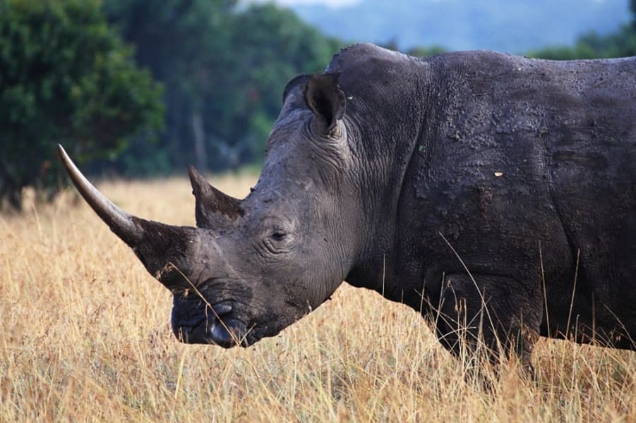 ol pejeta rhino 2