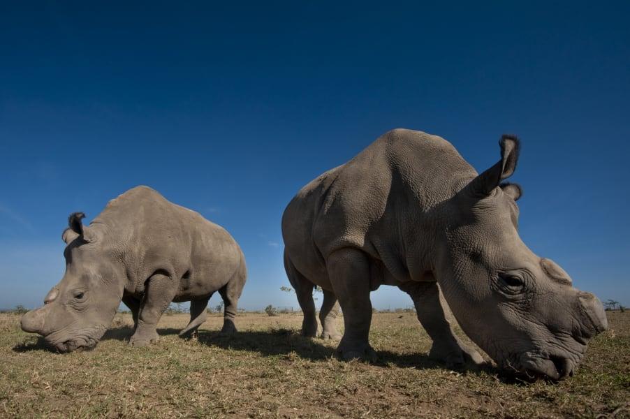 ol pejeta rhino 3