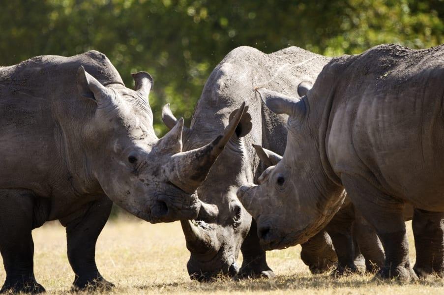 ol pejeta rhino 4