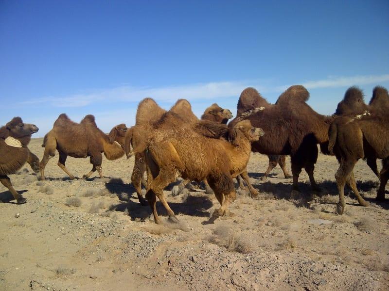 tpod.camels.gobi.irpt
