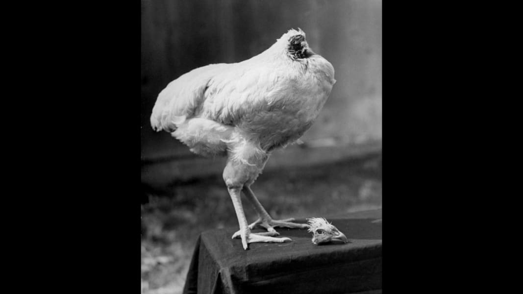 01 headless chicken