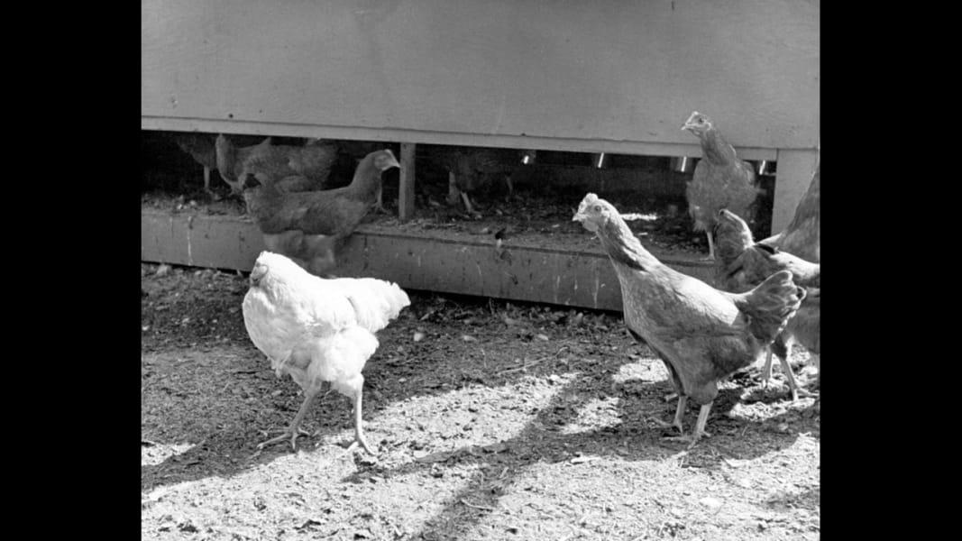 02 headless chicken