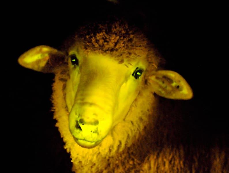 01 glowing sheep