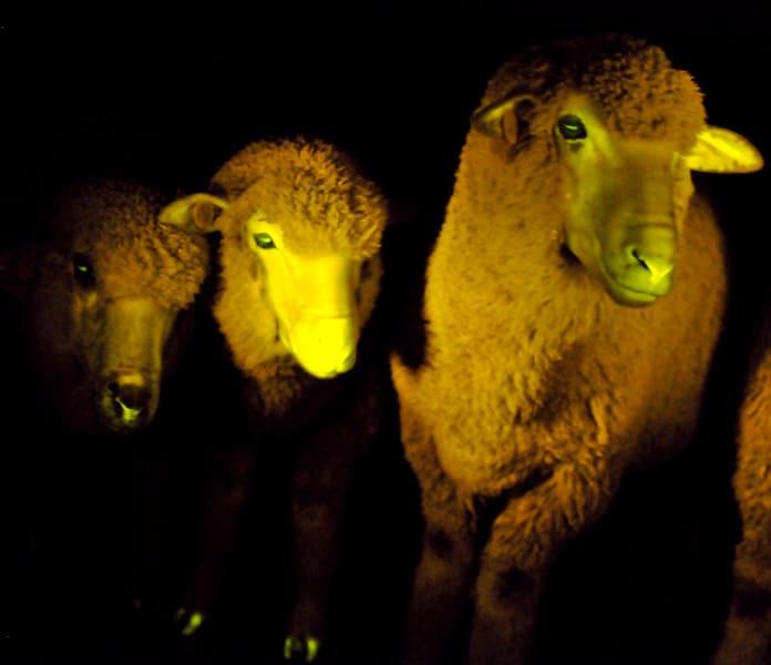 03 glowing sheep