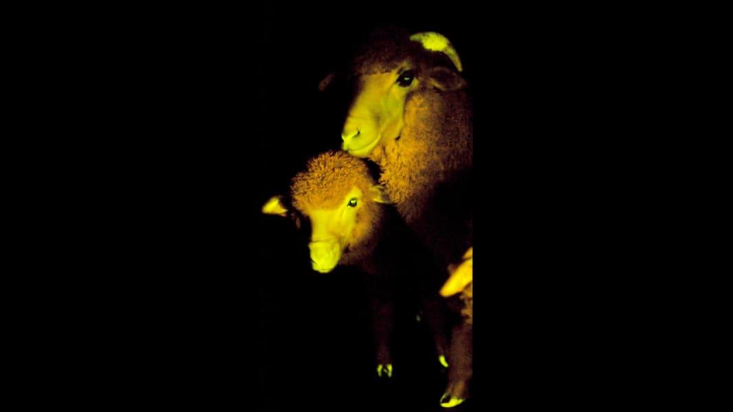 04 glowing sheep