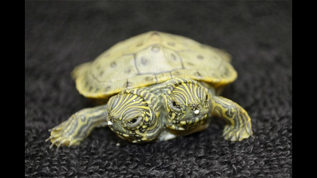 two-headed turtle RESTRICTED