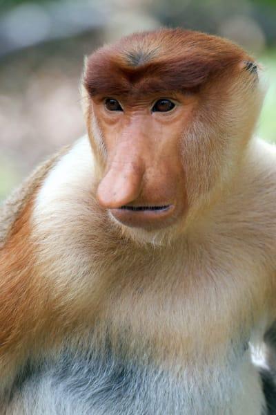 ugly animals proboscis monkey