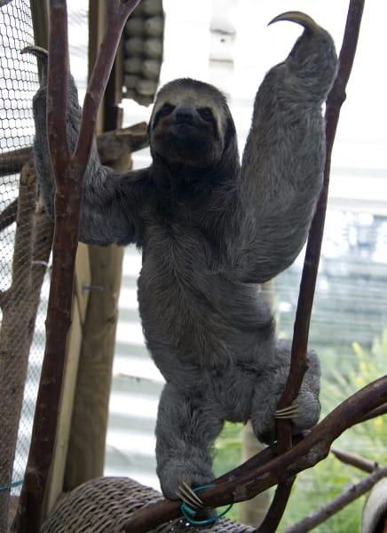 ugly animals three toed sloth