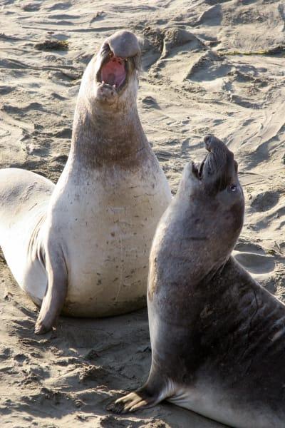 ugly animals elephant seal