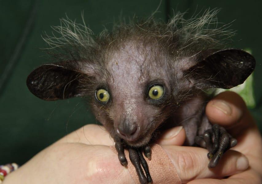 ugly animals aye aye
