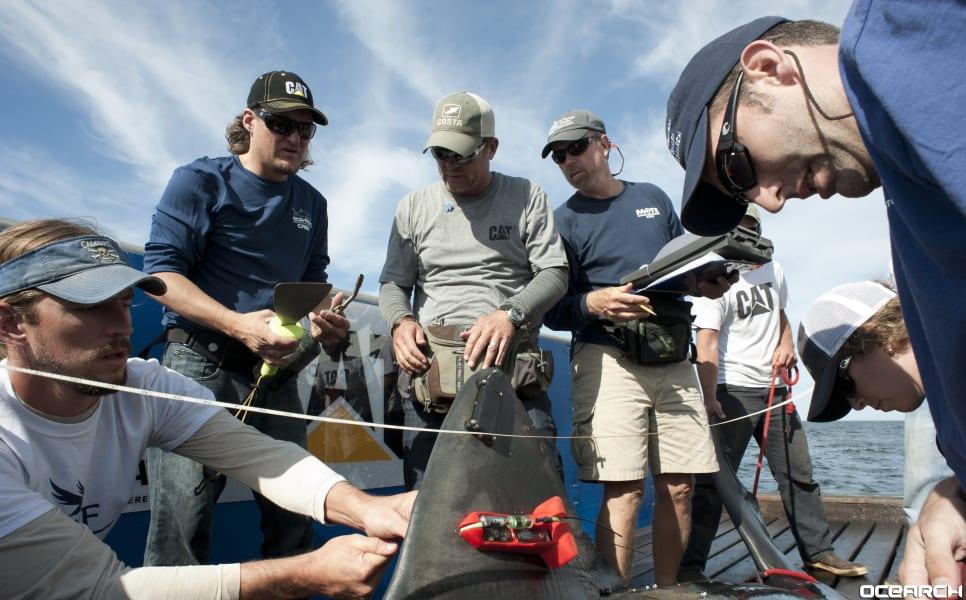 Ocearch tagging shark