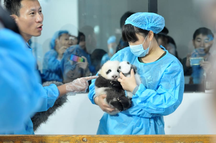 china baby pandas 4