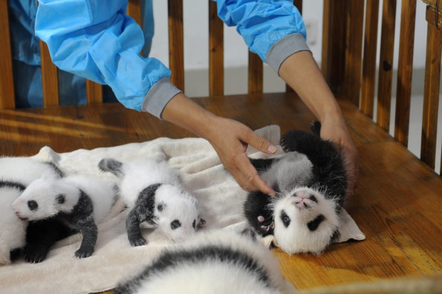 china baby pandas 5