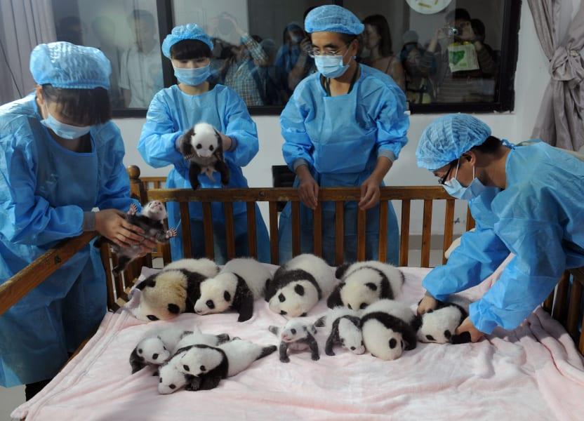 china baby pandas 6