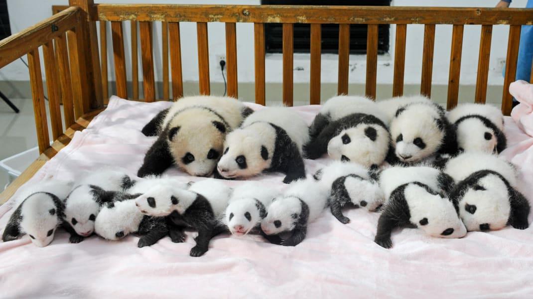 china baby pandas 8