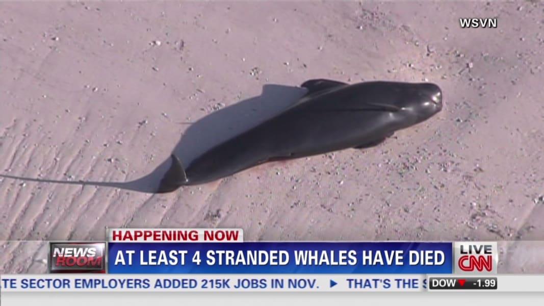 NR Zarrella Stranded Whales_00022528