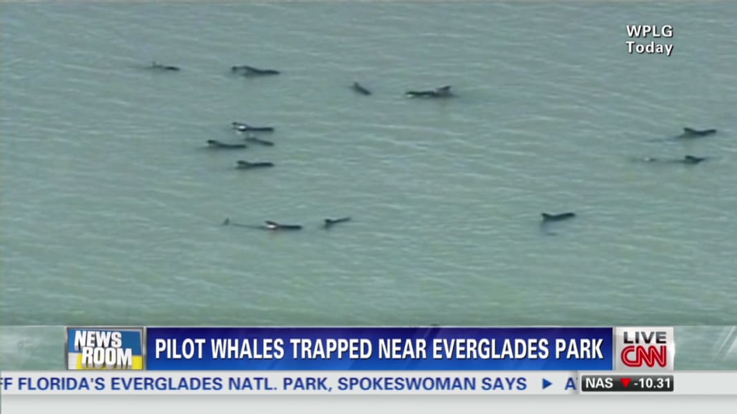 nr intv dove whales in Everglades park may be euthanized_00001705