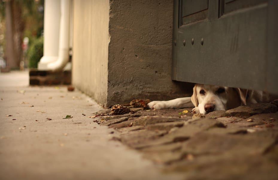 charleston dog 1