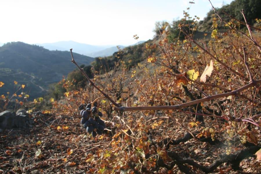 Mavro grapes growing near Zoopigi