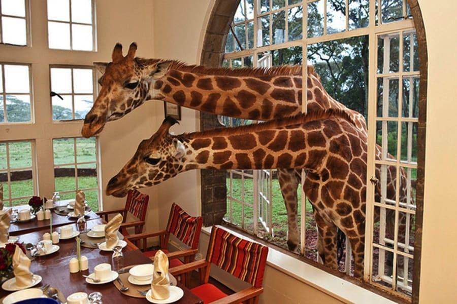 6. Giraffes in Kenya