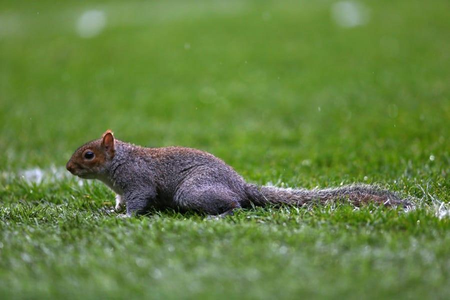 Squirrel invades pitch