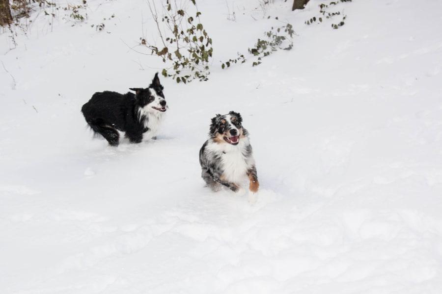 irpt dogs in snow 17