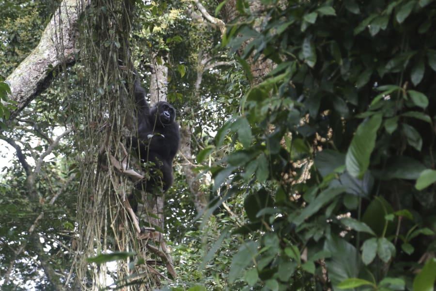 Gorilla Vine