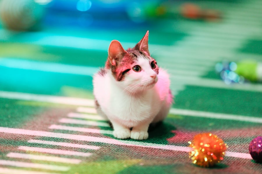 03.puppy-bowl-kittens