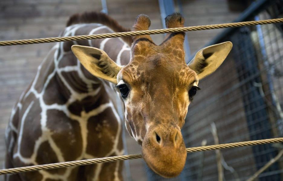 01.giraffe-DV1633968