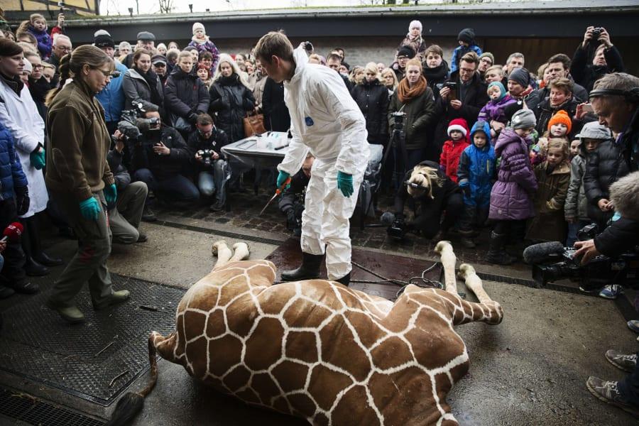 giraffe marius shot