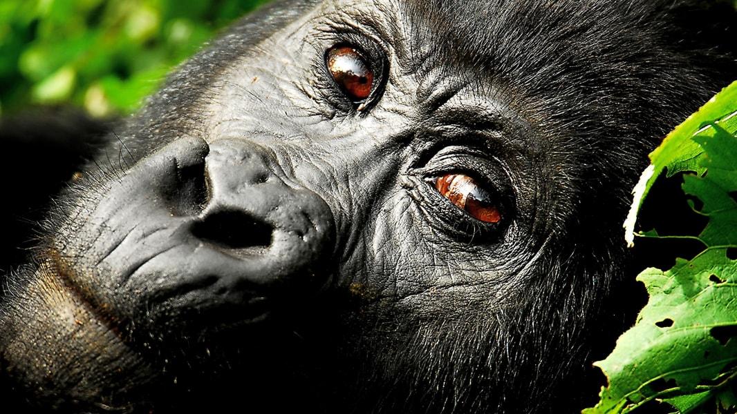 gorilla.irpt