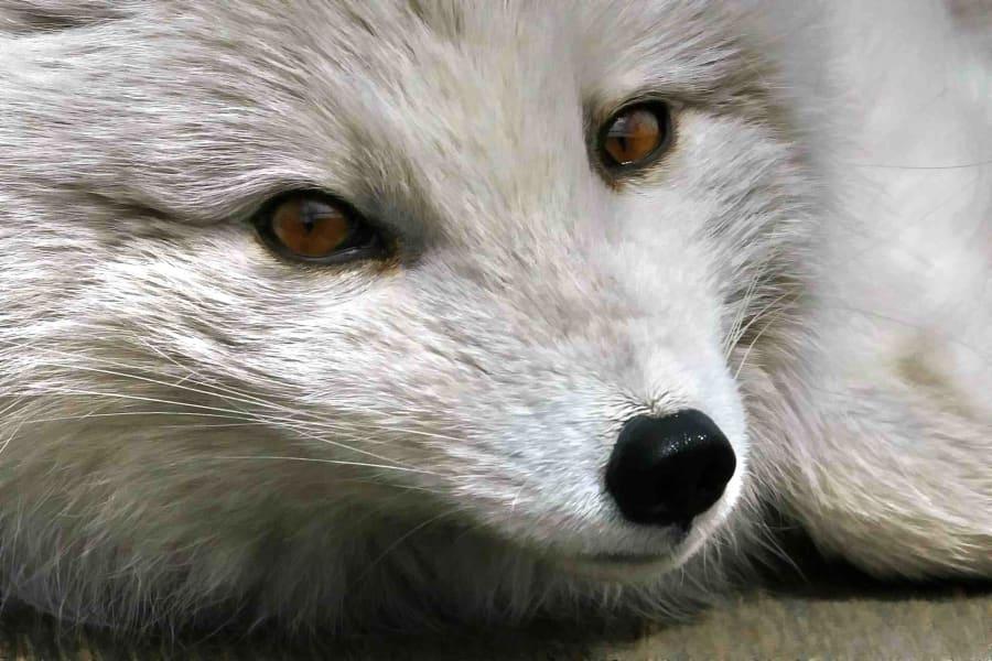 arctic fox irpt