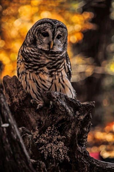 barred owl irpt