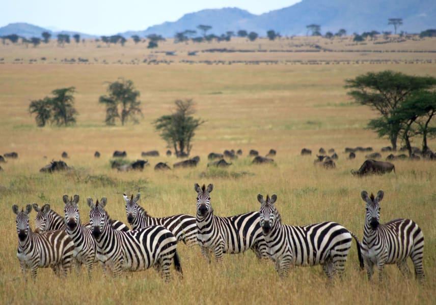 observant zebras irpt